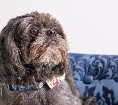 Dog, Shih Tzu, Animal, Pet, Canine, Tzu