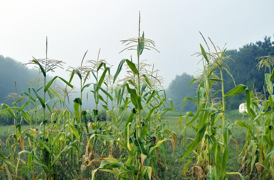 Corn, Corn Stalk, Stalk, Fi, Field, Farm, Agriculture