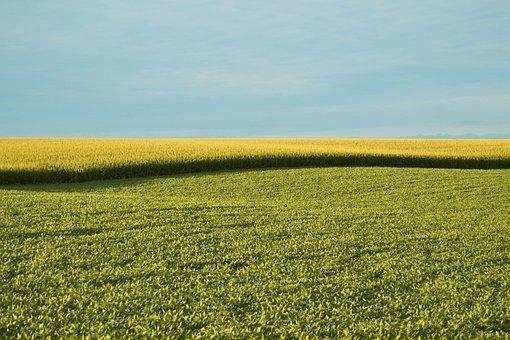 圃場, フィールド, ファーム, トウモロコシ, 風景, 農業, 自然, 植物