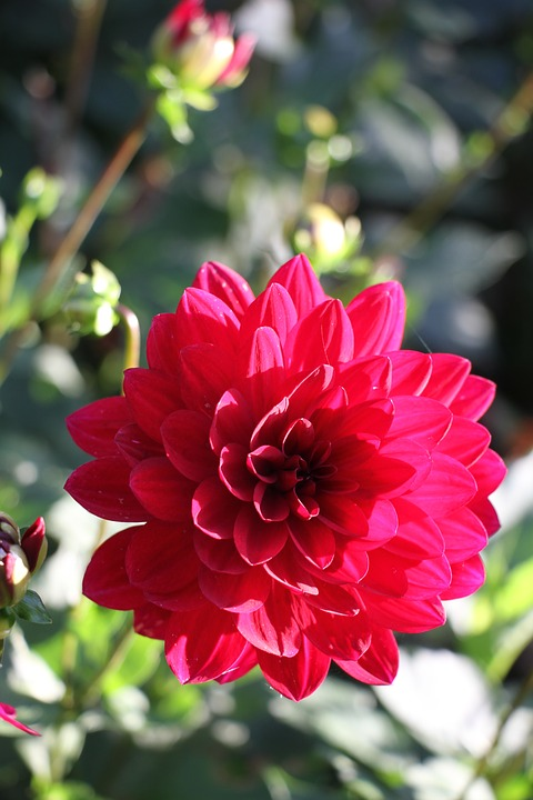 photo gratuite: dahlia, rouge, fleur, jardin - image gratuite sur
