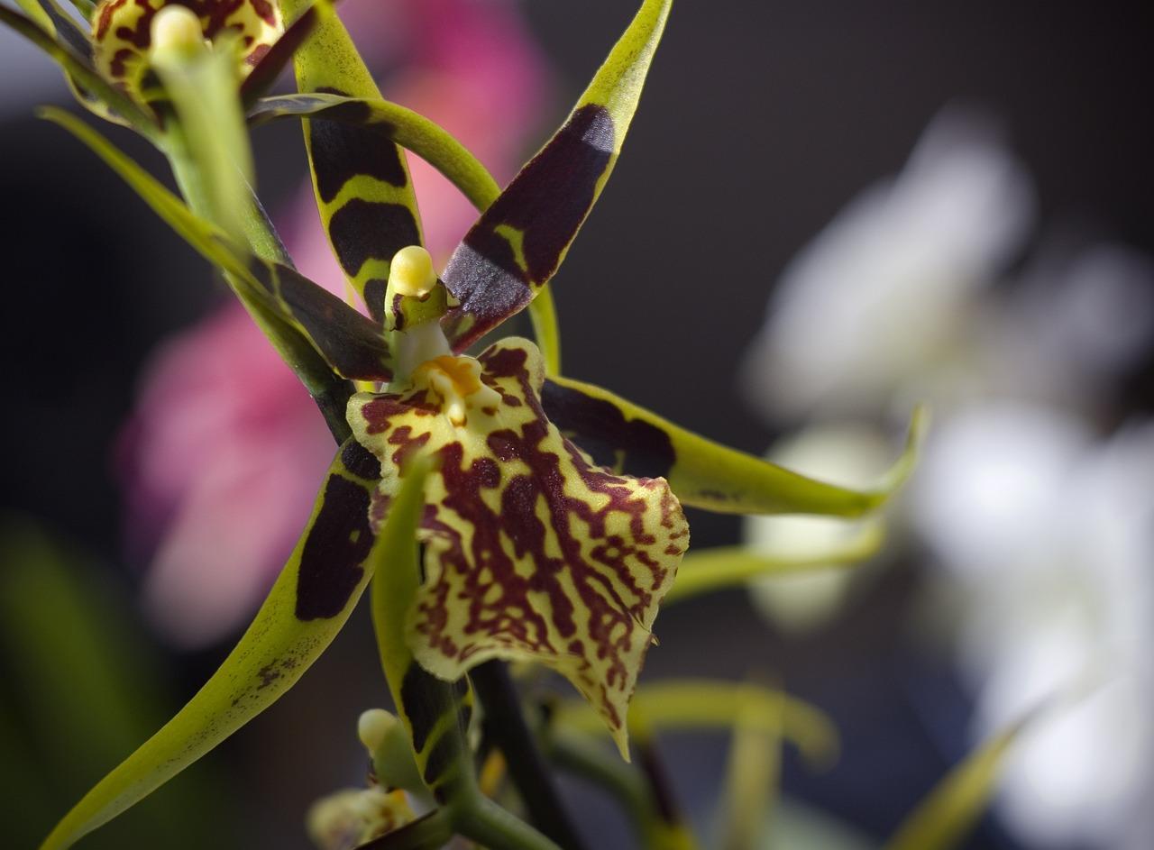 паучья орхидея фото увлечение агентами