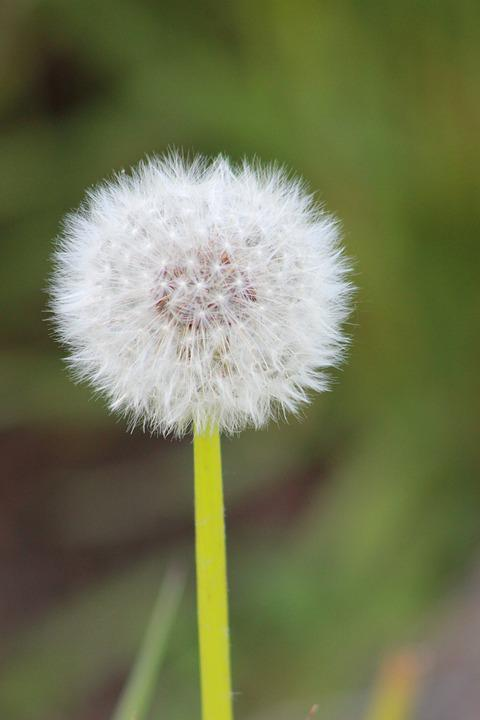 Dandelion flower white free photo on pixabay dandelion flower white cotton nature blossom mightylinksfo