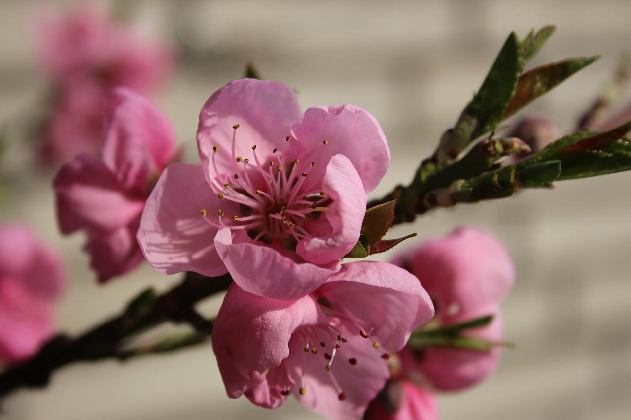 картинка цветущего персиками наблюдая выступлениями