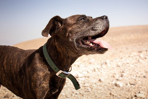Dog, Desert, Happy, Smile, Happiness