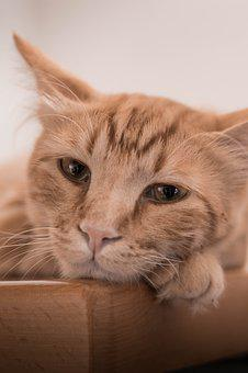 Cat, Ginger, Eyes, Beautifull, Animal
