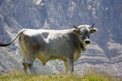Bull, Mountains, Bell, Beef