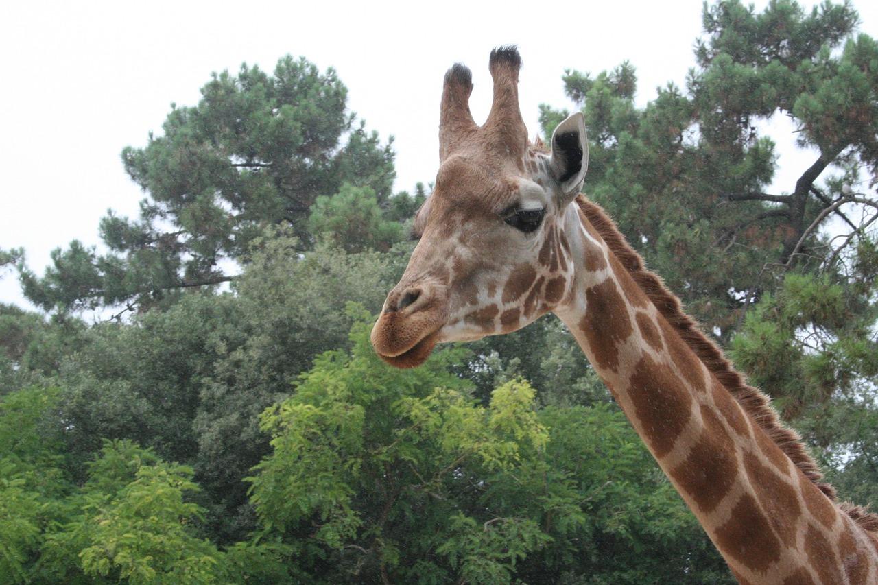 неправильном жираф на дереве картинки для касается быстрого причинения