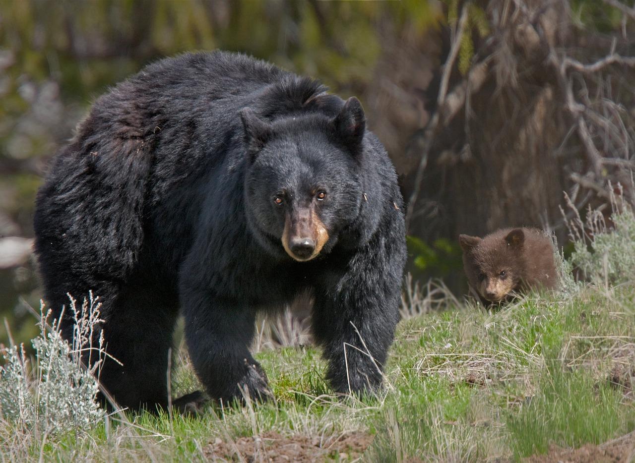 вытягивают картинки разных медведей сразятся стильной