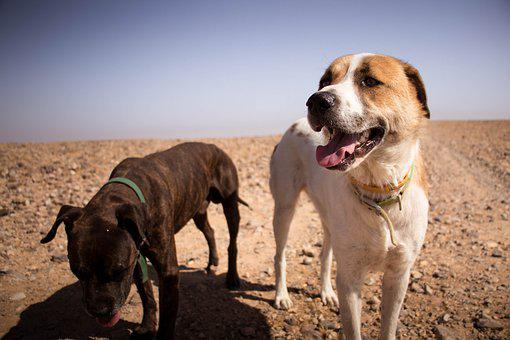 Dogs, Nature, Sun, Desert, Animal, Pet