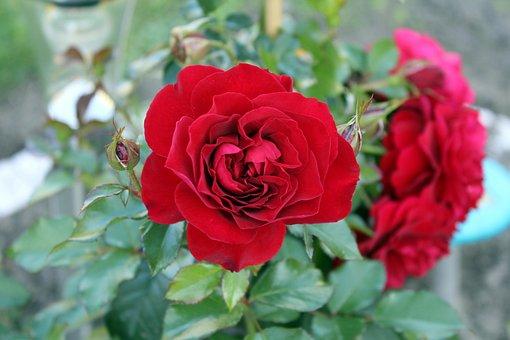 Rose, Fleur, Pétales De Rose, Rose Rouge