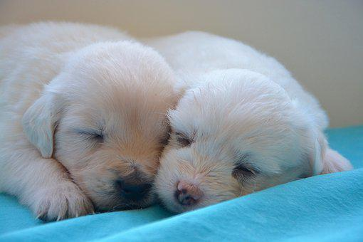 Puppies, Golden Retriever, Cute