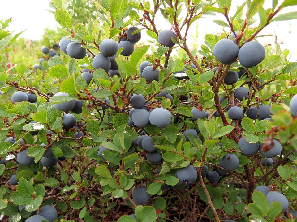Arándanos, Berry, Frutos Silvestres, Delicioso