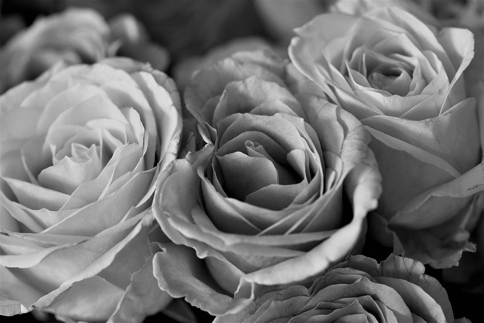 Roses flowers black and white nature rose blooms