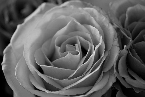 Roses, Fleurs, Noir Et Blanc, Nature