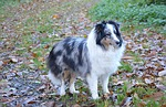 shetland sheepdog, dog, color