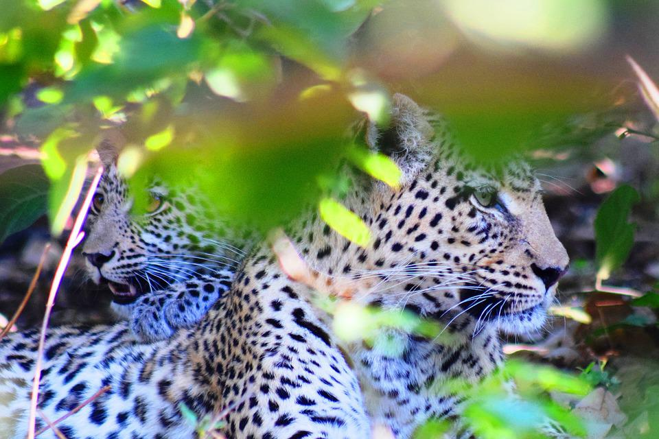 Leopard, Cub, Botswana, Safari, Mother And Baby, Bush