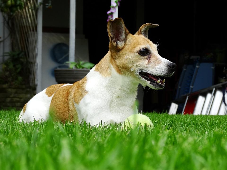 Foto gratis jack russell pecorina terrier immagine