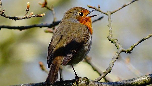 Oiseau, Nature, Forêt, Robin