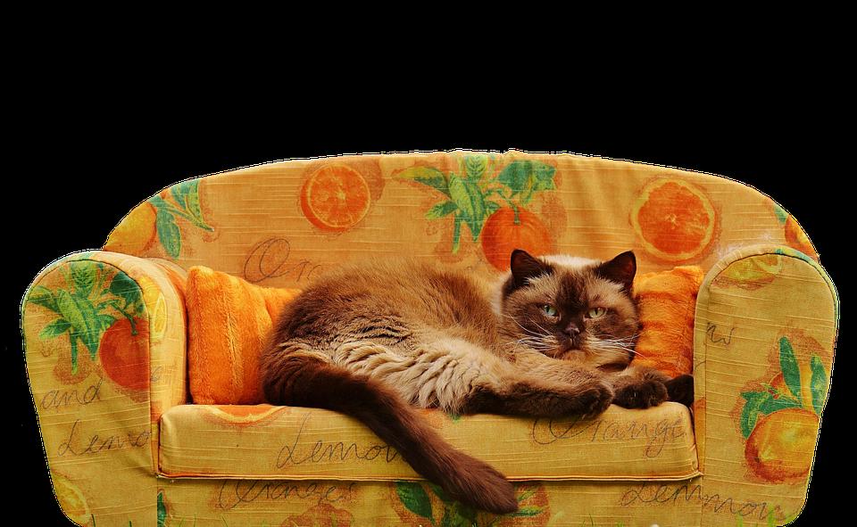 Sofa Couch Cat British Shorthair Thoroughbred Fur