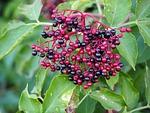holler, berries