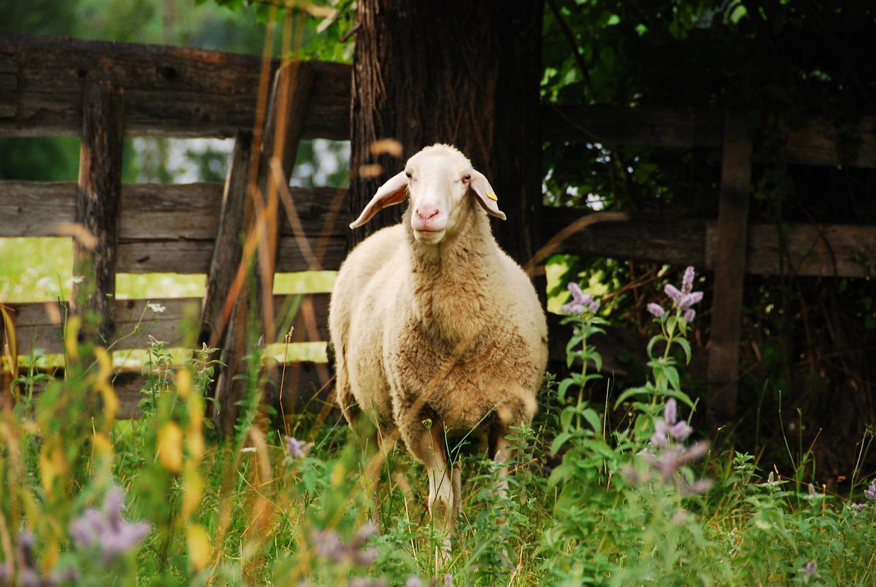 фото овцы спрятались горного хрусталя