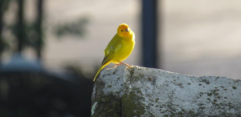 Nature Bird Ave Canary