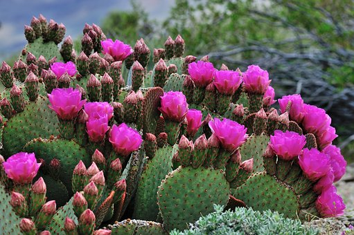 Cactus flower images pixabay download free pictures cactus pink flowers green nature mightylinksfo