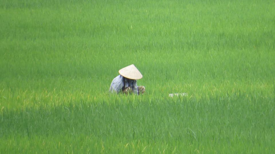 Paddy, Vietnam, Farmer'S Wife, Hat, Asia, Mai Chau