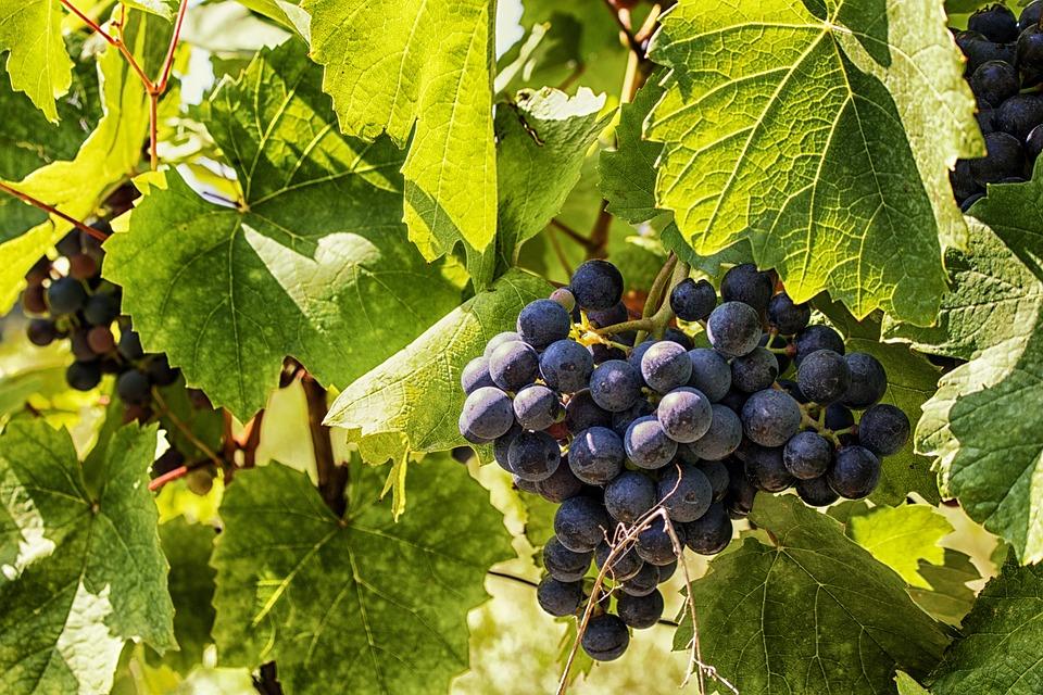 aves que les encantan las uvas