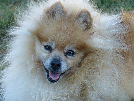 Pomeranian, Blonde, Ginger Colored, Face