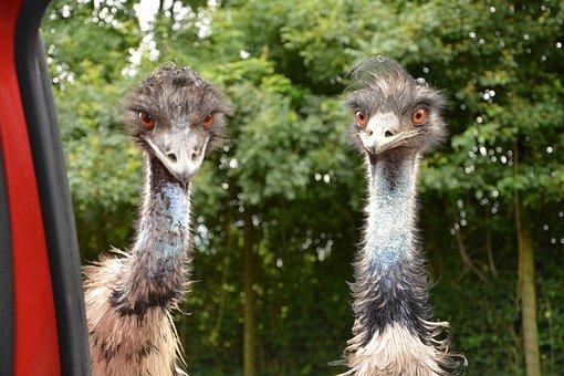 Emus, Emu, Big Bird, Zoo, Plumage