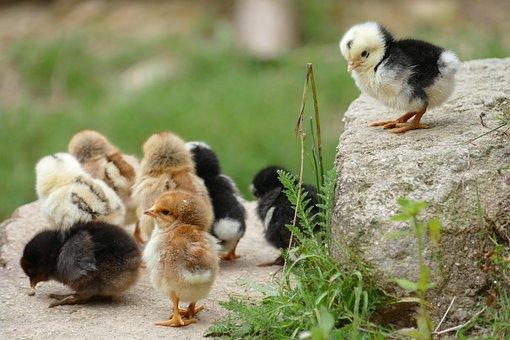 Chick, Chicken, Them, Poultry, Bird