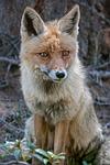 fox, crafty, wild