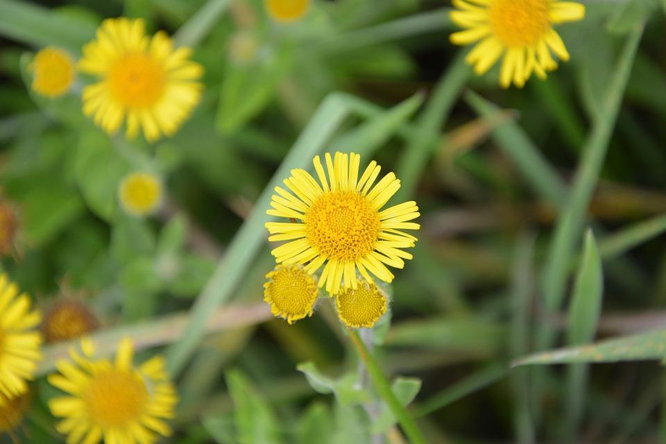 Bunga Daisy Kuning Padang Foto Gratis Di Pixabay