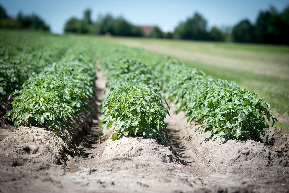 Agriculture, Potato, Crop, Field, Plant, Earth