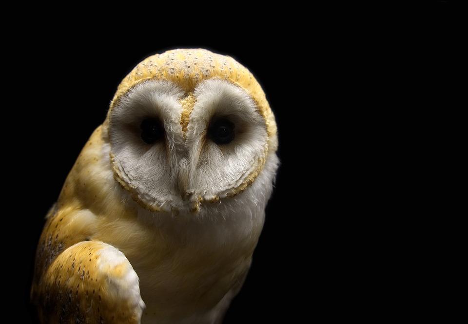Burung Hantu Gudang Serak Jawa Foto Gratis Di Pixabay