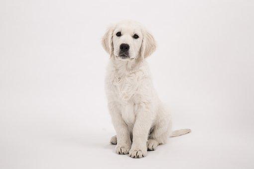 Dog, Golden Retriever, Puppy sit