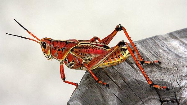 Sauterelle, Insectes, Rouge, Des Animaux