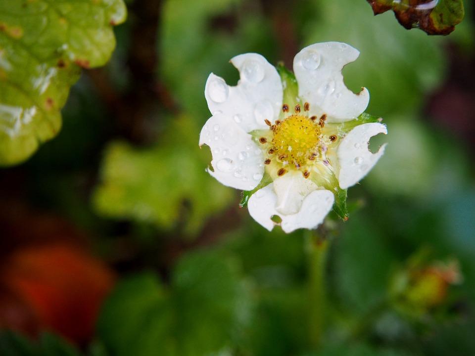 Fleur De Fraisier Fraise Photo Gratuite Sur Pixabay