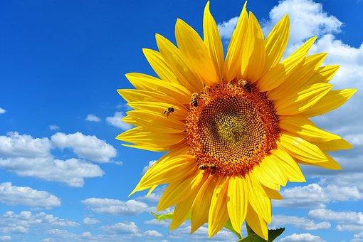 Sonnenblume, Bienen, Blauer Himmel