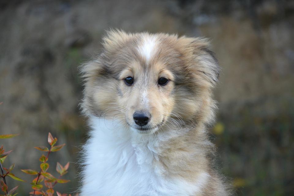 Simple Icelandic Sheepdog Canine Adorable Dog - puppy-2656337_960_720  Graphic_216745  .jpg