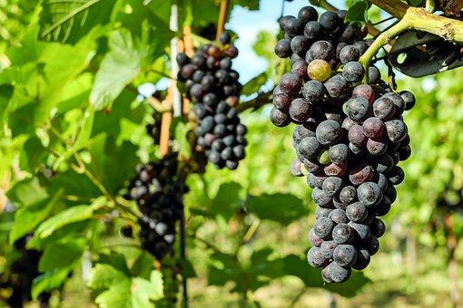 Blaue trauben kostenlose bilder auf pixabay for Weintrauben im garten anbauen
