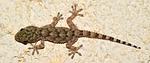 gecko, reptile