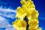 gladiolus, flower, blossom