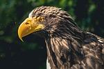 eagle, bird of prey, animal