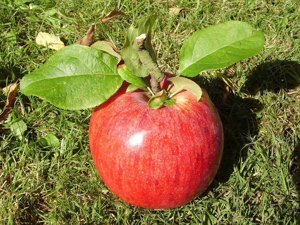 Apple Panen Buah Lukisan Alam Foto Gratis Di Pixabay