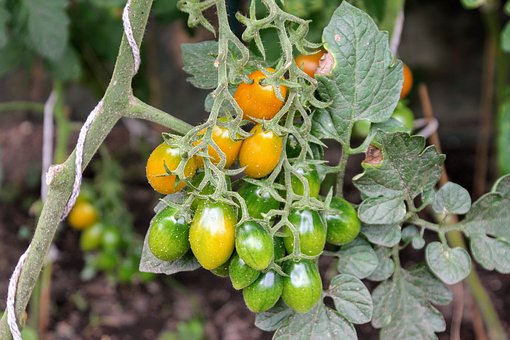 Tomatoes, Tomato Plant, Cultivation