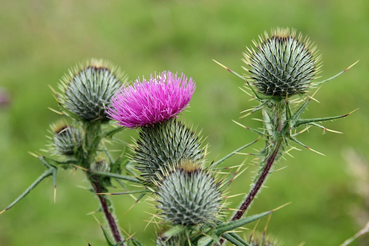 Символ шотландии цветок фото