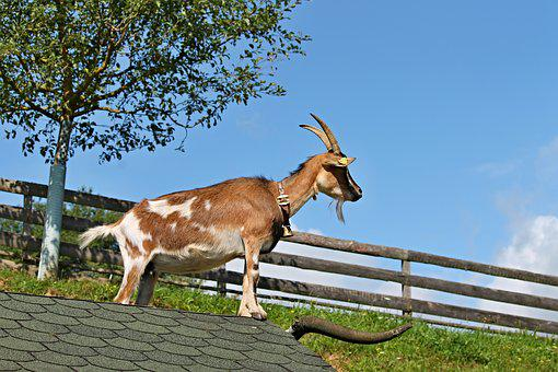 Goat, Roof, Farm, Pet, Log Cabin, Stand