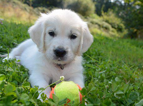 Golden Retriever, Dog, Male